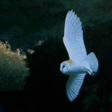 Barn Owl 'Evening patrol'