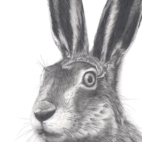 Hare illustration - photo#16